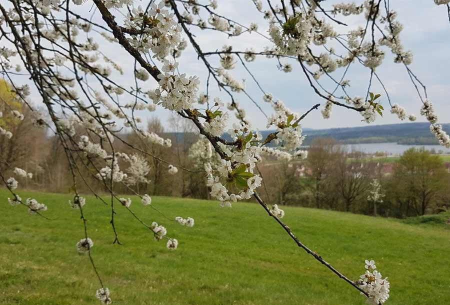Die Kirschblüte in und um Großweingarten