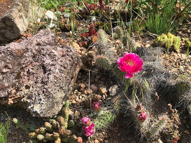 kaktus winterharrt