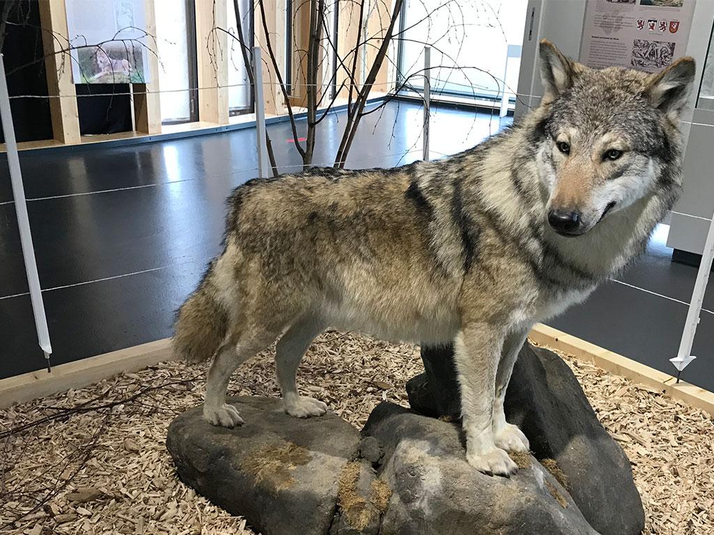 sonderausstellung wolf